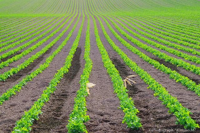 エンドウ豆畑