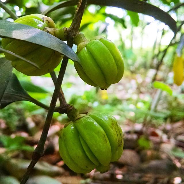 Kudampuli Gambooge Kerala Home Garden Homemade Natu Flickr