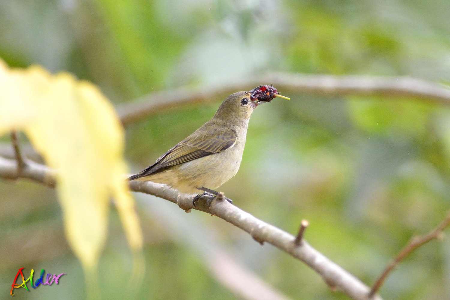 Plain_Flowerpecker_3483