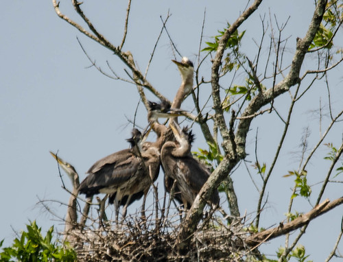 Lake Connestee Heron Rookery-011