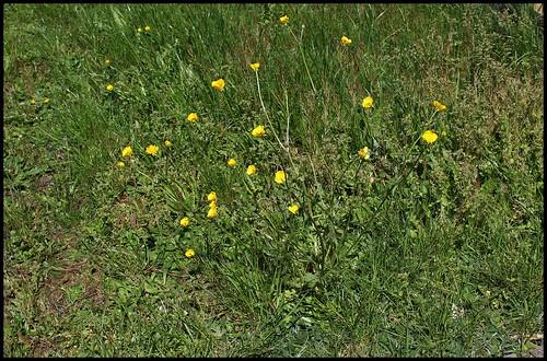 Renoncule bulbeuse (3)