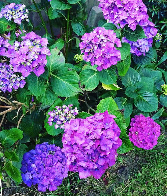 Gorgeous purple hydrangea 💜