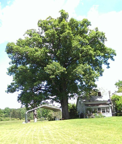 Fezzik! Our 400+yr old White Oak. What a glorious Tree.  #nofilter  #oak #oaktree #whiteoak #fiveoaks #home #garden #dantesspirit | by WolfSilverOak