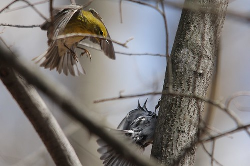 Pine and Black-and-white Warbler - Discussion | by Birding In New Jersey