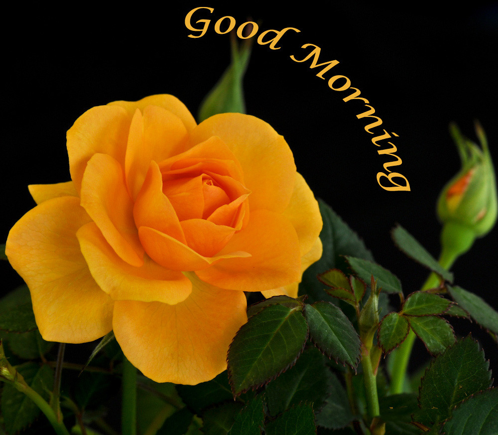 Yellow Rose Good Morning Wishes With Yellow Rose Flower Nalla