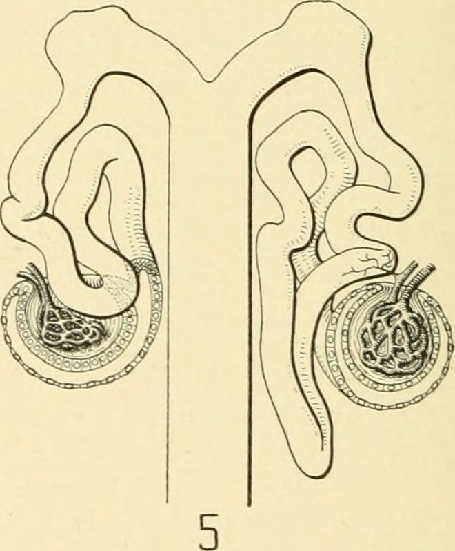 image from page 697 of the american journal of anatomy flickr rh flickr com