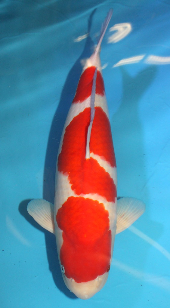 Grand Champion German Young Koi Show 2015