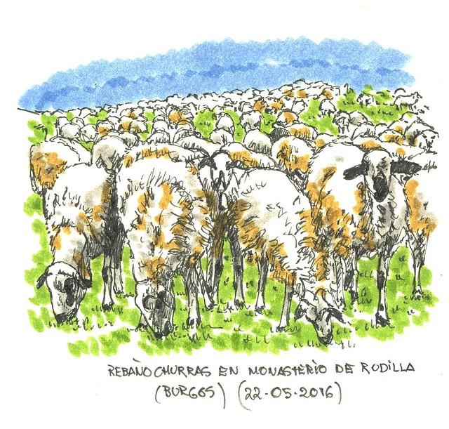 Rebaño ovejas churras