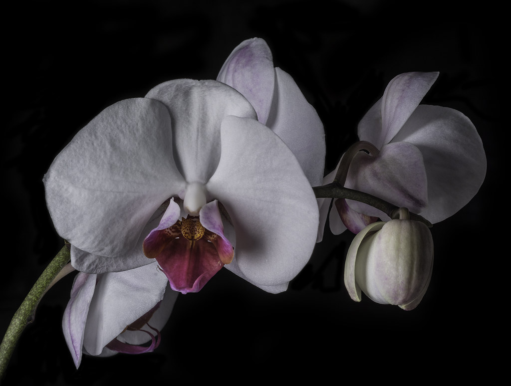 White Orchid Flowers Photographed At My Sisters House In Flickr