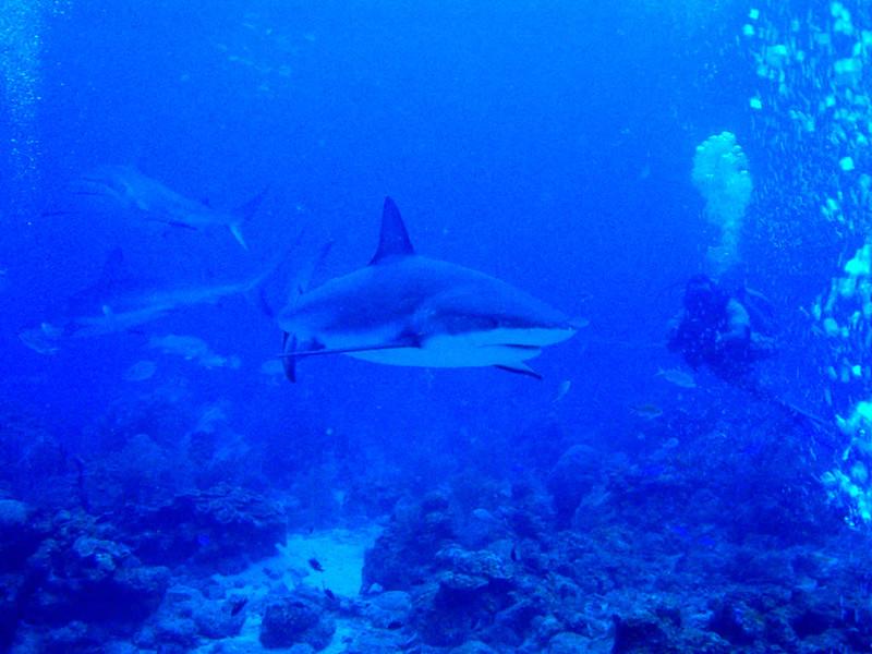 En el Face to Face se pueden ver cifras cercanas a veinte tiburones.
