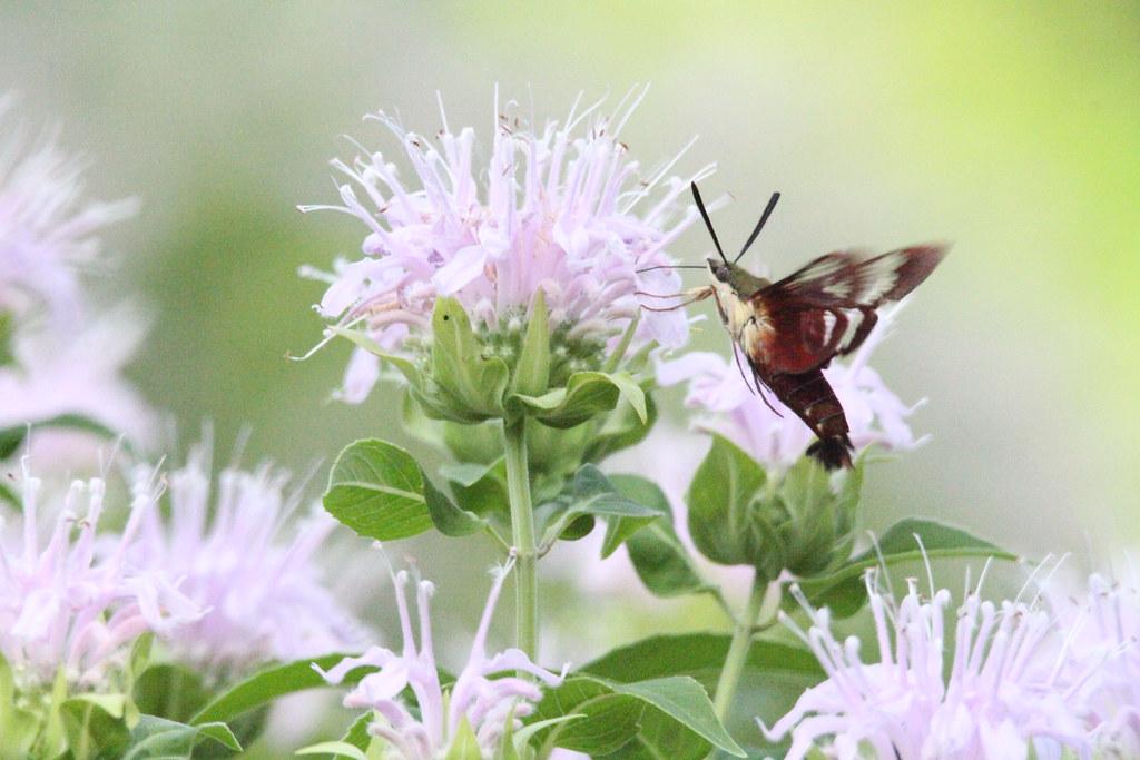clearwing hunmingbird moth IMG_4567