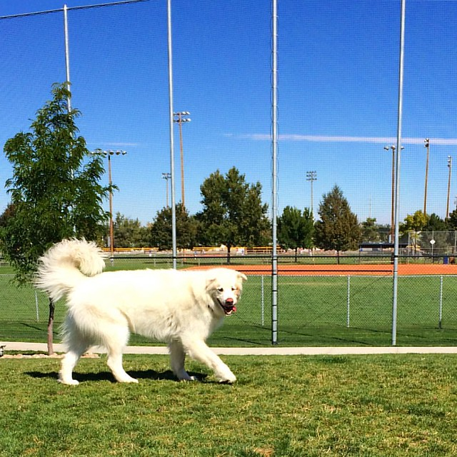 We met a Great Pyrenees at the dog park today. What a big boy!