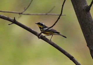 Magnolia Warbler | by Birding In New Jersey