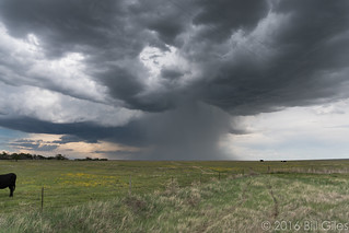 One big storm, one half cow | by chasingwithbill