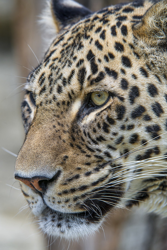 Very pretty male leopard!