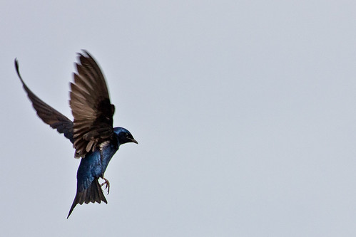 Purple Martin, Bombay Hook National Wildlife Refuge, Delaware | by USFWS Headquarters