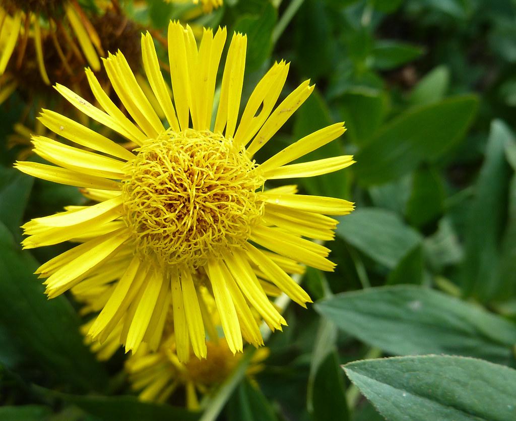 Yellow Flower With Scrambled Center Inula Spiraeifolia Flickr