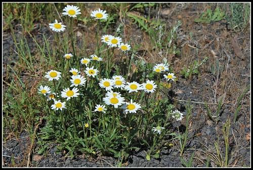 Leucanthemum vulgare - grande marguerite 28534907655_91ecc3e250