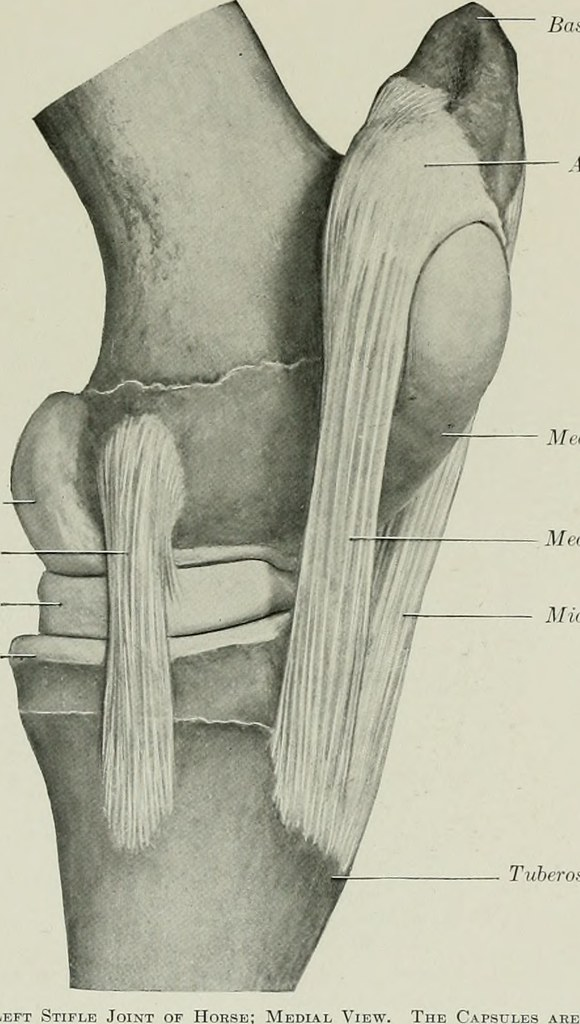 Image From Page 238 Of The Anatomy Of The Domestic Animal Flickr