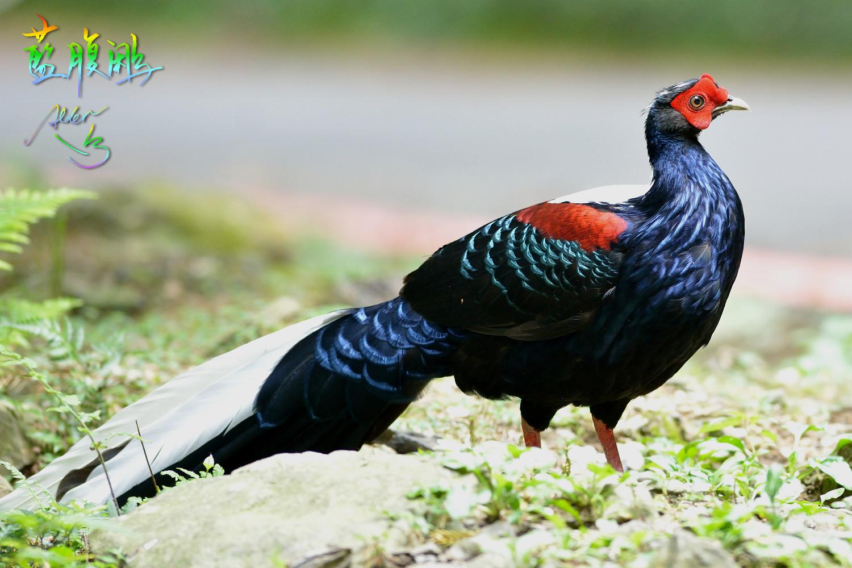 Swinhoe_Pheasant_9832