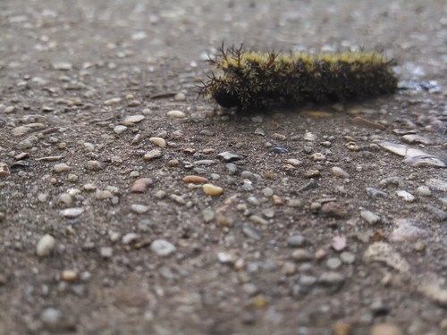 Mid May Caterpillar