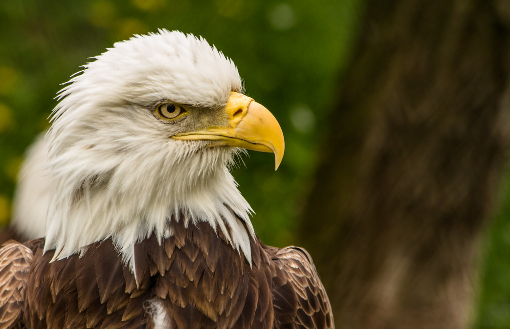Our National Symbol Bald Eagle At The Zoo Toledo Zoo Tole Flickr