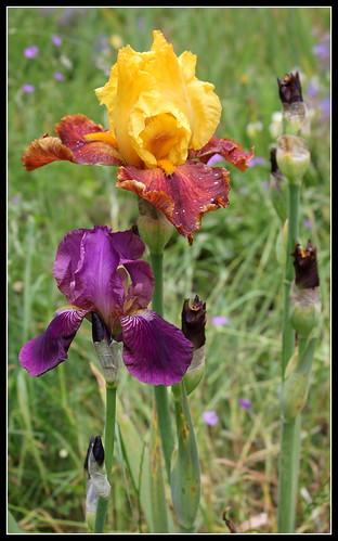 Iris 'Imperator' - Ferdinand Cayeux 1922 27479079165_a942282d93
