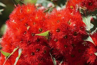 Prolific flowering gum | by Joe Lewit