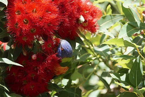 Rainbow Lorikeet feasting | by Joe Lewit