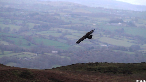 Golden Eagle | by Robbob 2010