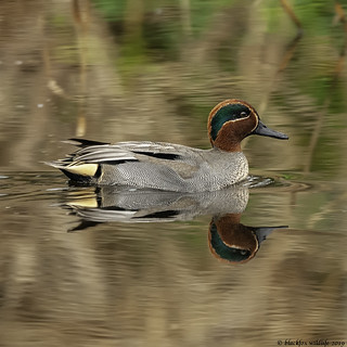 time will teal | by blackfox wildlife and nature imaging