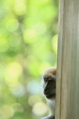 Home of the Macaques | Macritchie Treetop Walk, Singapore