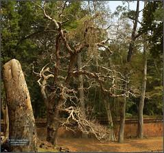 Angkor Thom, Phimeanakas Trees 20180202_105526 DSCN2499