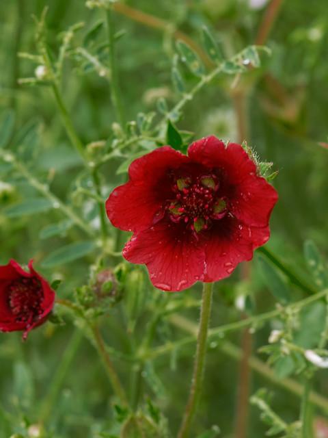 Scarlet cinquefoil