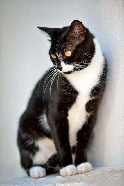 Gitana, gata blanquinegra dulce y tranquila esterilizada, nacida en Febrero´14, en adopción. Valencia. ADOPTADA. 29321621342_e19474fa09_z