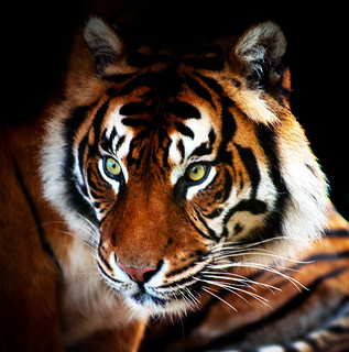 Time spent with Tigers is never wasted | by Steve Wilson - over 8 million views Thanks !!