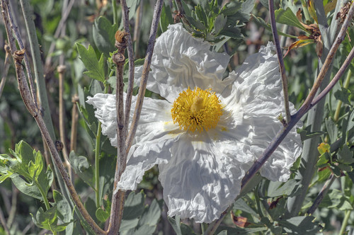 Matilija Poppy | by charles25001