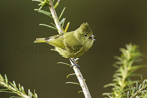 Yellow-browed Tit - Bhutan 2012_S4E8689 | by fveronesi1