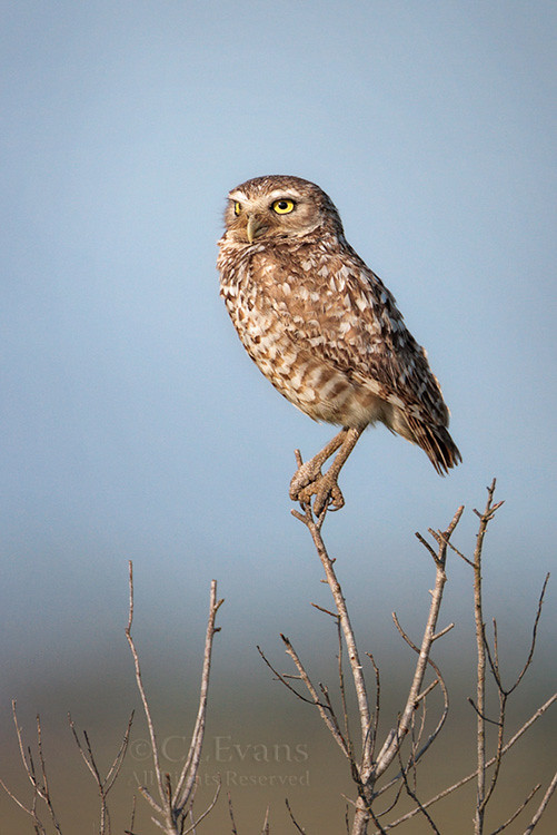 Burrowing Owl In The Florida Prairie Sorry For Long