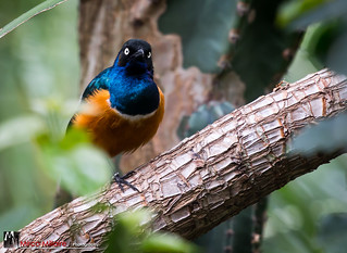African Superb Starling (Explored) | by Mirco Millaire Photography