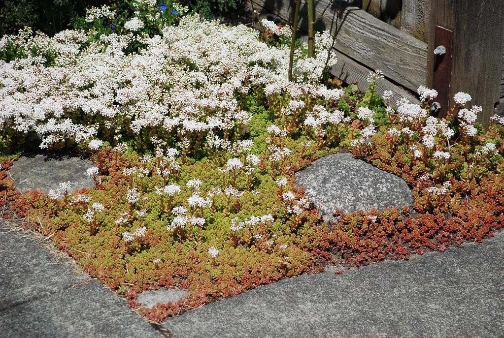 Sedum album 39 coral carpet 39 flr 2 stonecrop wbla corky flickr - Sedum album coral carpet ...