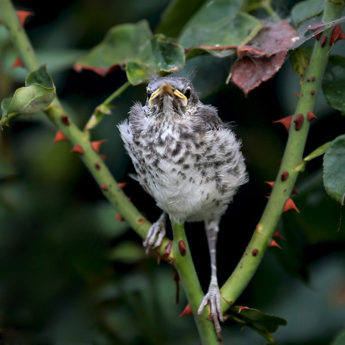 Baby Mockingbird Out of the Nest, Day Two | by Redzenradish Photography