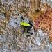 Climbing Mantella (Mantella laevigata)