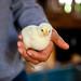 Baby Chick 1