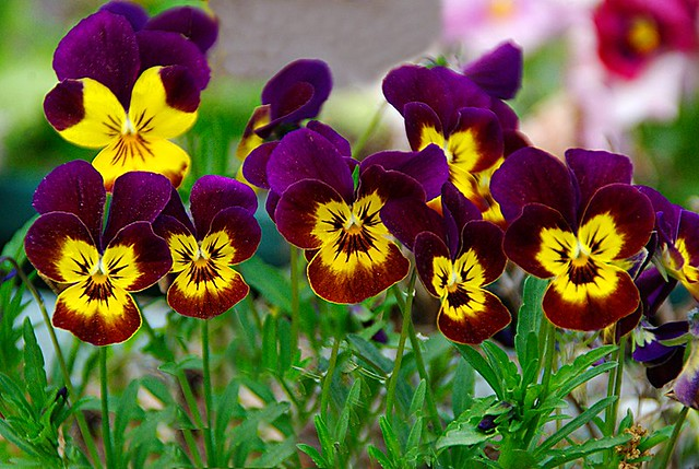 Purple and yellow flowers | Flickr - Photo Sharing!