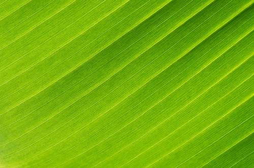 Banana Leaf Veins | by maida0922
