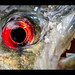 Bloodthirsty Piranha