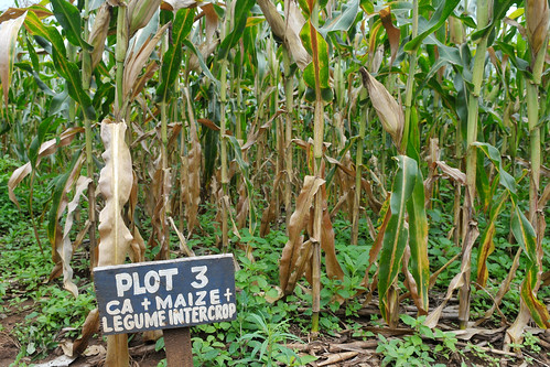 Maize thrives under drought in Malawi with conservation agriculture | by CIMMYT
