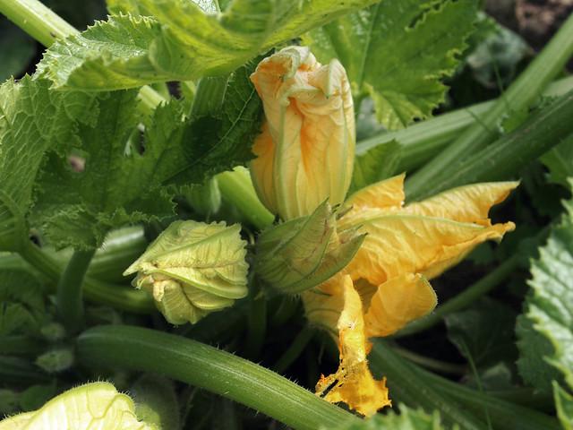 Photo - Fleur de courgette male ...