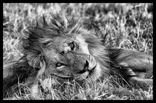 Lion, Botswana Botswana
